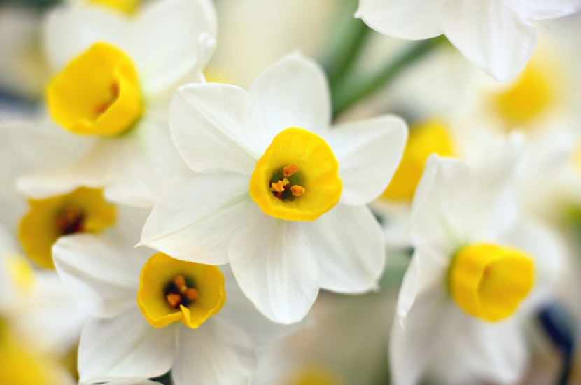 Narcissus, Chinese New Year Flower