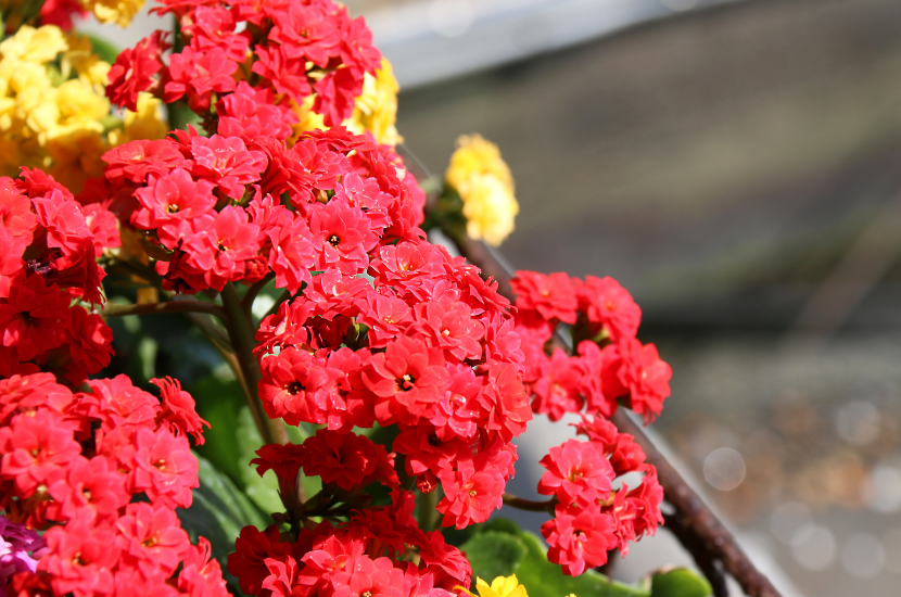 Kalanchoes, a Chinese New Year flower