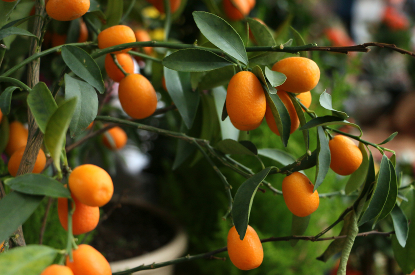 Kumquat trees, a lucky Chinese New Year plant